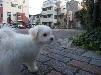 20090901 ビションフリーゼ フントヒュッテ おさんぽ 裏道 探検 9