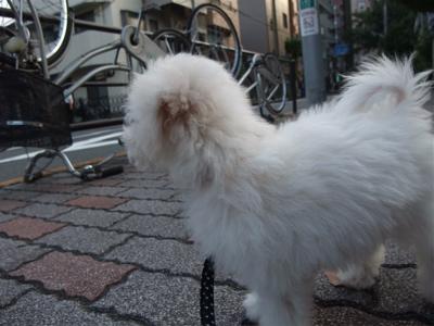 20090901 ビションフリーゼ フントヒュッテ おさんぽ 裏道 探検 10
