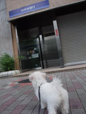 20090907 ビションフリーゼ フントヒュッテ おさんぽ 7