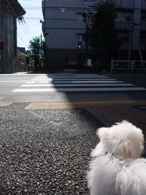 20090925 ビションフリーゼ フントヒュッテ おさんぽ 18
