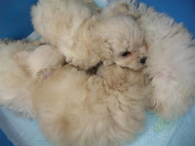 20091105 トイ・プードル ホワイト 兄弟姉妹 寄り添う4兄弟姉妹 フントヒュッテ hundehutte こいぬ 仔犬 子犬 1