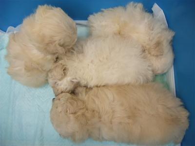 20091105 トイ・プードル ホワイト 兄弟姉妹 寄り添う4兄弟姉妹 フントヒュッテ hundehutte こいぬ 仔犬 子犬 2