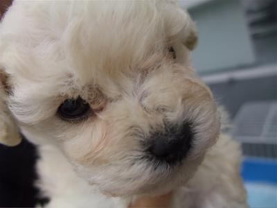 20091105 トイ・プードル ホワイト 兄弟姉妹 姉妹 おんなのこ フントヒュッテ hundehutte こいぬ 仔犬 子犬 4