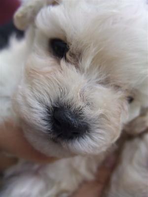 20091105 トイ・プードル ホワイト 兄弟姉妹 姉妹 おんなのこ フントヒュッテ hundehutte こいぬ 仔犬 子犬 12