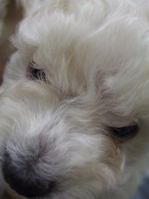 20091105 トイ・プードル ホワイト 兄弟姉妹 姉妹 おんなのこ フントヒュッテ hundehutte こいぬ 仔犬 子犬 13