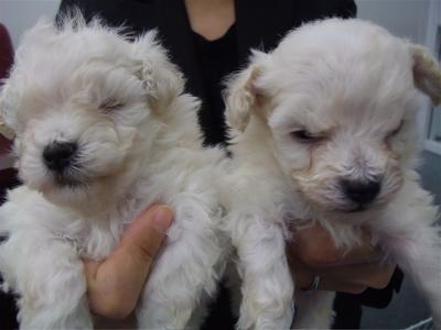 20091105 トイ・プードル ホワイト 兄弟姉妹 兄弟 おとこのこ フントヒュッテ hundehutte こいぬ 仔犬 子犬 1