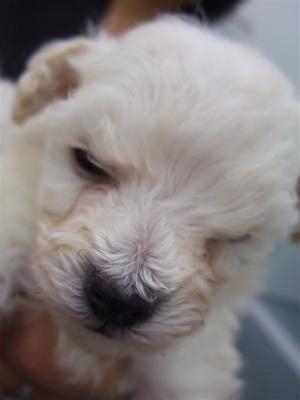 20091105 トイ・プードル ホワイト 兄弟姉妹 兄弟 おとこのこ フントヒュッテ hundehutte こいぬ 仔犬 子犬 2