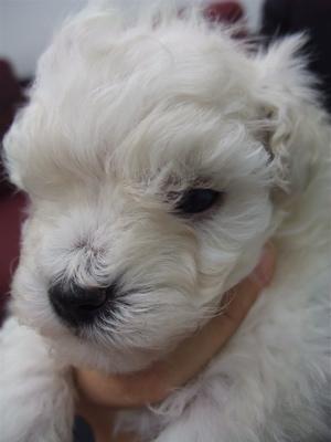 20091105 トイ・プードル ホワイト 兄弟姉妹 兄弟 おとこのこ フントヒュッテ hundehutte こいぬ 仔犬 子犬 4