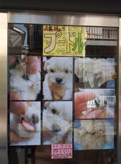 20091106 トイ・プードル ホワイト おんなのこ おとこのこ こいぬ情報 フントヒュッテ hundehutte こいぬ 仔犬 子犬