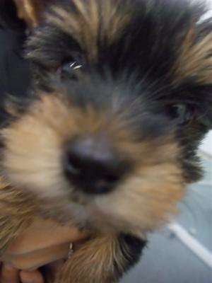 20091105 ヨークシャー・テリア ヨーキー スチールブルー&タン フントヒュッテ hundehutte こいぬ 仔犬 子犬 2