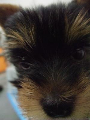 20091105 ヨークシャー・テリア ヨーキー スチールブルー&タン フントヒュッテ hundehutte こいぬ 仔犬 子犬 4