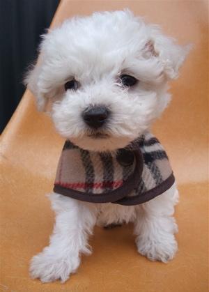 Burberrys バーバリー ウールチェックコート ドッグウェア 犬用ウェア ビションフリーゼ ドッグモデル 1