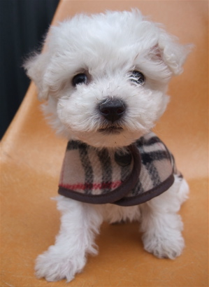 Burberrys バーバリー ウールチェックコート ドッグウェア 犬用ウェア ビションフリーゼ ドッグモデル 2