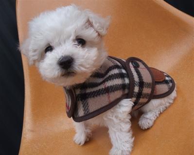 Burberrys バーバリー ウールチェックコート ドッグウェア 犬用ウェア ビションフリーゼ ドッグモデル 3