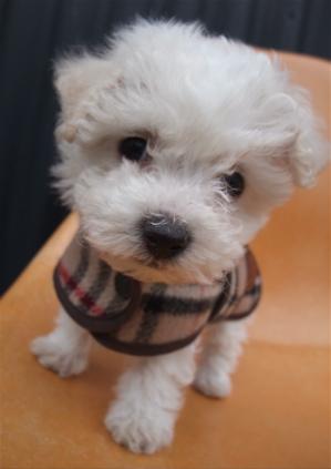 Burberrys バーバリー ウールチェックコート ドッグウェア 犬用ウェア ビションフリーゼ ドッグモデル 5