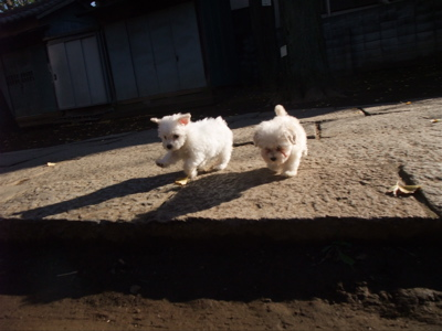 プードル フントヒュッテ hundehutte ビションフリーゼ こいぬ 仔犬 子犬 おさんぽ 4