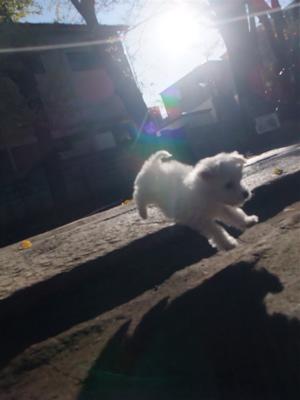 プードル フントヒュッテ hundehutte ビションフリーゼ こいぬ 仔犬 子犬 おさんぽ 5