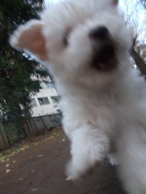 ビションフリーゼ ダックスフンド カニンヘン カニヘン こいぬ 仔犬 子犬 フントヒュッテ hundehutte 6