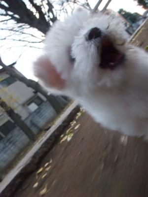 ビションフリーゼ ダックスフンド カニンヘン カニヘン こいぬ 仔犬 子犬 フントヒュッテ hundehutte 5