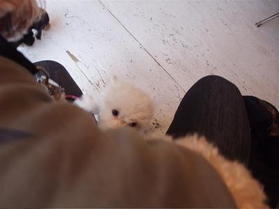ビションフリーゼ トイ・プードル プードル トイプー こいぬ 仔犬 子犬 フントヒュッテ hundehutte 東京 7