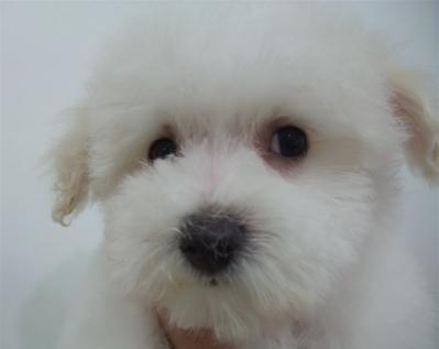 ビションフリーゼ トリミング シャンプー こいぬ 仔犬 子犬 フントヒュッテ hundehutte 東京 9