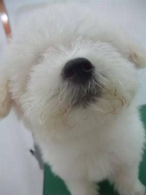 ビションフリーゼ トリミング シャンプー こいぬ 仔犬 子犬 フントヒュッテ hundehutte 東京 12