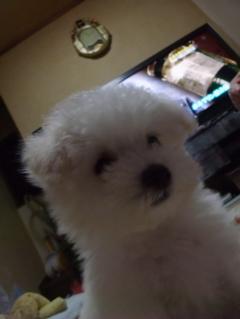 ビションフリーゼ こいぬ 仔犬 子犬 フントヒュッテ hundehutte 大晦日 紅白歌合戦 NHK 1