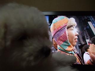 ビションフリーゼ こいぬ 仔犬 子犬 フントヒュッテ hundehutte 大晦日 紅白歌合戦 NHK 2