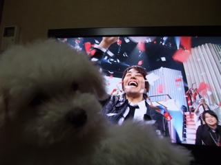 ビションフリーゼ こいぬ 仔犬 子犬 フントヒュッテ hundehutte 大晦日 紅白歌合戦 NHK 3