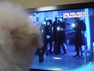 ビションフリーゼ こいぬ 仔犬 子犬 フントヒュッテ hundehutte 大晦日 紅白歌合戦 NHK 8