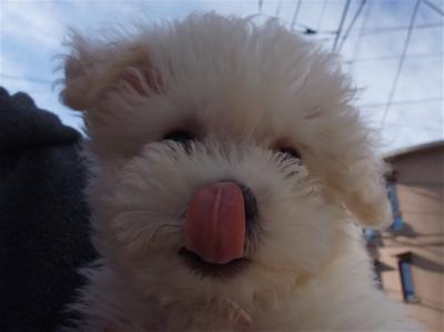 ビションフリーゼ こいぬ 仔犬 子犬 フントヒュッテ hundehutte 東京都 文京区 おさんぽ 2