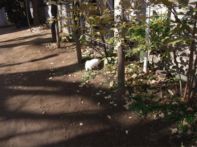 ビションフリーゼ こいぬ 仔犬 子犬 フントヒュッテ hundehutte 東京都 文京区 おさんぽ 3