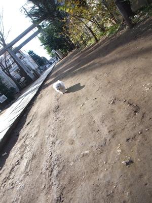 ビションフリーゼ こいぬ 仔犬 子犬 フントヒュッテ hundehutte 東京都 文京区 おさんぽ 6