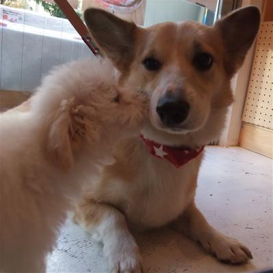 ビションフリーゼ こいぬ 仔犬 子犬 コーギー フントヒュッテ hundehutte 東京都 文京区 3