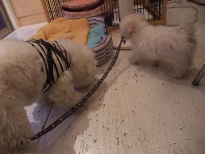 ビションフリーゼ こいぬ 子犬 仔犬 フントヒュッテ hundehutte 東京都 文京区 5