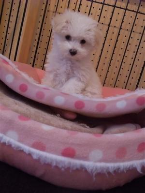ビションフリーゼ こいぬ 仔犬 子犬 フントヒュッテ hundehutte 文京区 東京都 4