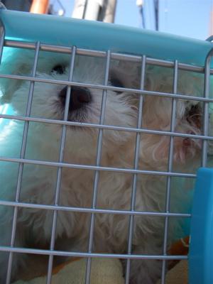 混合ワクチン接種 ビションフリーゼ トイ・プードル こいぬ 仔犬 子犬 フントヒュッテ hundehutte 動物病院 17