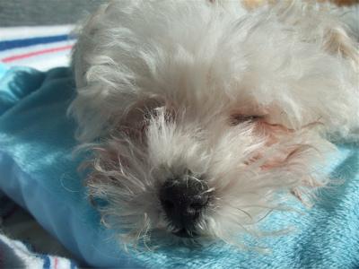 混合ワクチン接種 ビションフリーゼ トイ・プードル こいぬ 仔犬 子犬 フントヒュッテ hundehutte 動物病院 21