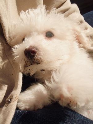 ビションフリーゼ フントヒュッテ hundehutte こいぬ 仔犬 子犬 イカスミスパゲティー 土 おさんぽ 東京都 文京区 8