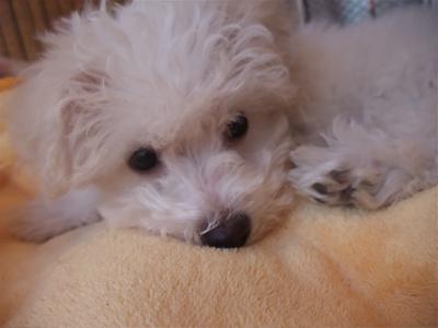 ビションフリーゼ フントヒュッテ hundehutte スリッカーブラシ ブラッシング コーミング コーム 日頃のケア こいぬ 仔犬 子犬 2