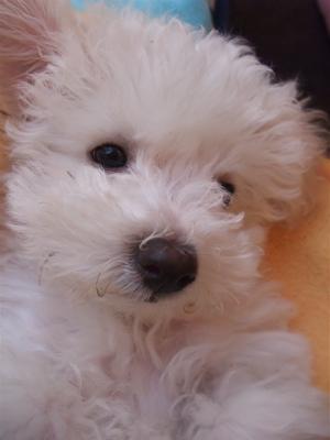 ビションフリーゼ フントヒュッテ hundehutte スリッカーブラシ ブラッシング コーミング コーム 日頃のケア こいぬ 仔犬 子犬 8