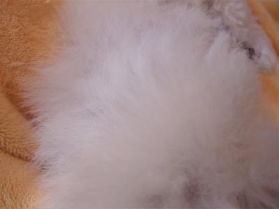 ビションフリーゼ フントヒュッテ hundehutte スリッカーブラシ ブラッシング コーミング コーム 日頃のケア こいぬ 仔犬 子犬 24