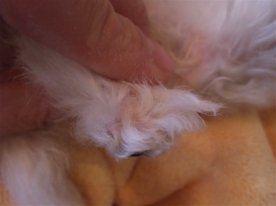 ビションフリーゼ フントヒュッテ hundehutte スリッカーブラシ ブラッシング コーミング コーム 日頃のケア こいぬ 仔犬 子犬 25