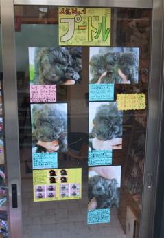 トイプードル シルバー こいぬ 仔犬 子犬 フントヒュッテ hundehutte 4
