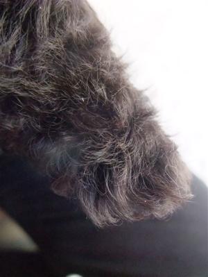 トイプードル シルバー フントヒュッテ hudehutte こいぬ 仔犬 子犬 ブラッシング スリッカーブラシ 9