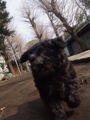 トイプードル シルバー フントヒュッテ hundehutte こいぬ 仔犬 子犬 東京都文京区 おさんぽ 5
