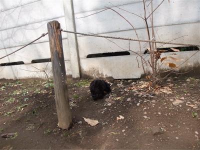 トイプードル シルバー フントヒュッテ hundehutte こいぬ 仔犬 子犬 東京都文京区 おさんぽ 12