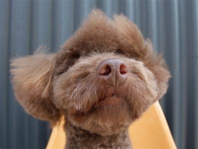 プードル ブラウン モヒカン 鬣 たてがみ ドラゴン トリミング カット フントヒュッテ 東京都文京区 トリミングサロン hundehutte 8
