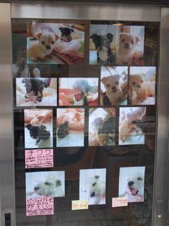 こいぬ情報 仔犬情報 子犬情報 フントヒュッテ hundehutte チワワ ビションフリーゼ 東京 文京区 1