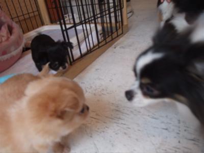 チワワ こいぬ 子犬 仔犬 フントヒュッテ hundehutte トリミングサロン 東京 文京区 4